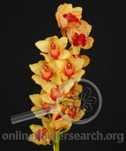 Cymbidium Stem Yellow