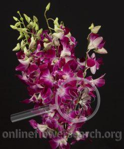 Dendrobium BOM