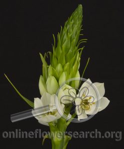 Ornithogalum Dubium White