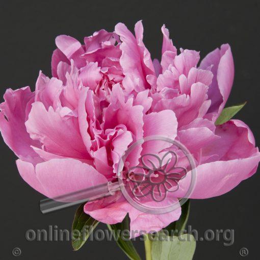 Peony Double Jules Elie Dark Pink