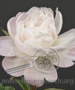 Peony Double Gardenia