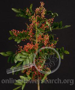 Pepperberry Upright Brazilian