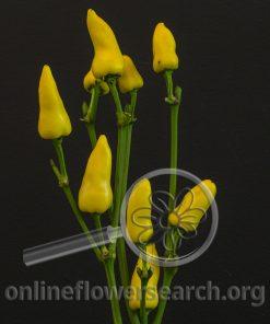 Pepper Ornamental Yellow