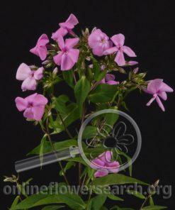 Phlox Dark Pink