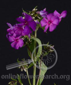 Phlox Lavender