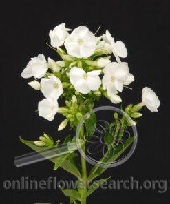 Phlox White