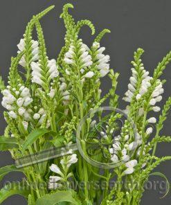 Physostegia White