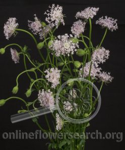 Pink Lace Flower (Didiscus)