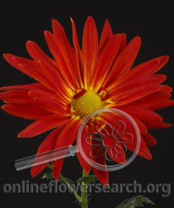 Chrysant Rover Red
