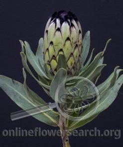 Protea Green Mink