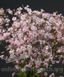 Saponaria Pink