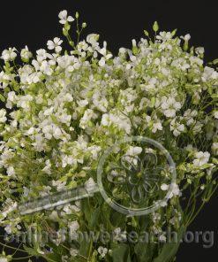 Saponaria White