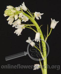 Scilla campanulata White