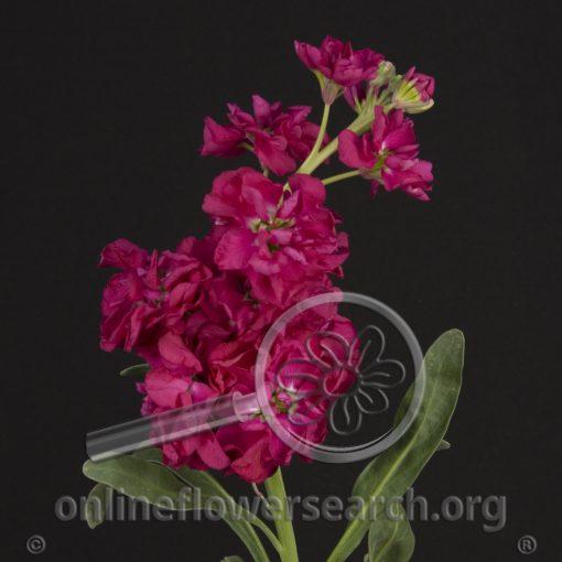 Stock Fuchsia
