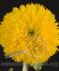 Sunflower Teddybear