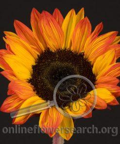 Sunflower Holiday Tint