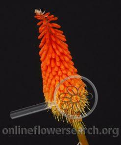 Tritoma Orange (Red Hot Poker)