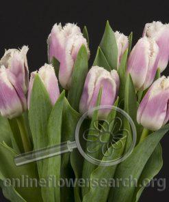 Tulip Frilly Edge Lavender