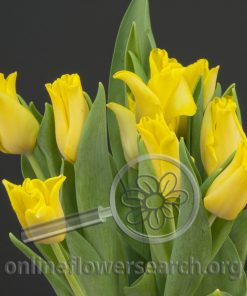Tulip Yellow Crown