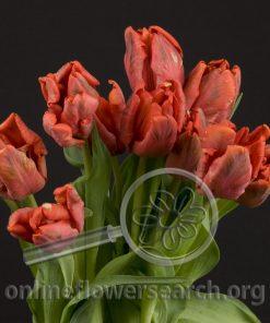 Tulip Parrot Red