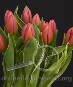 Tulip Hot Pink Variegated foliage