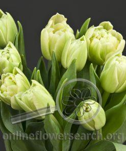 Tulip Double White