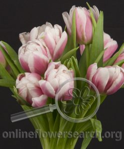 Tulip Double Bicolor