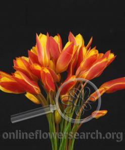 Tulip species