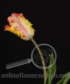 Tulip French Flaming Parrot