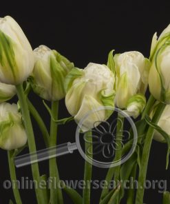 Tulip French White Parrot