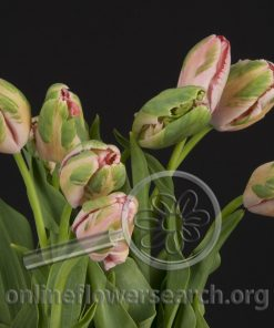 Tulip French Pink Parrot