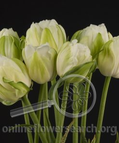 Tulip French Maureen Double