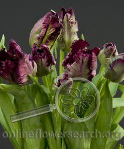 Tulip Parrot Black