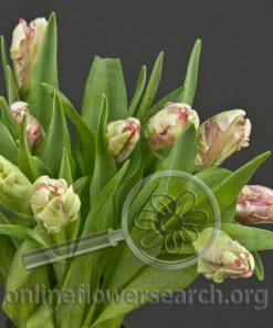 Tulip Parrot Estella Rijnveld