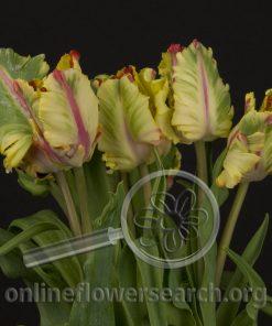 Tulip Parrot Flaming