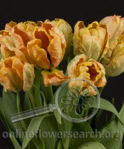 Tulip Parrot Peach