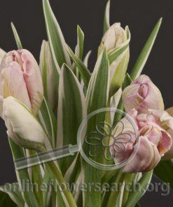 Tulip Parrot Pink