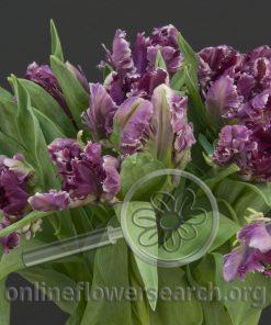Tulip Parrot Purple