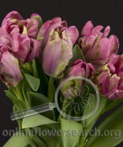 Tulip Parrot Lavender