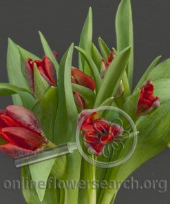 Tulip Parrot Rococo Red