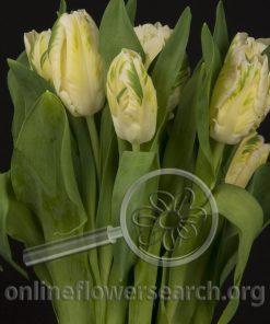 Tulip Parrot White