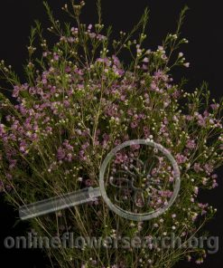 Waxflower Lady Stephanie Pink