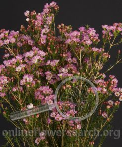 Waxflower Hybrid Painted Lady