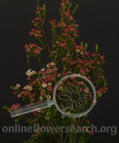 Waxflower Sweet Sixteen