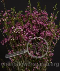 Waxflower Purple Pride
