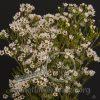 Waxflower Hybrid Blondie White