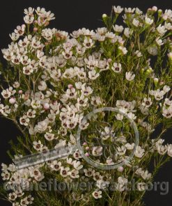 Waxflower Hybrid Blondie White