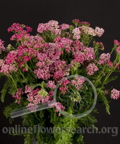 Yarrow Cottage Pink