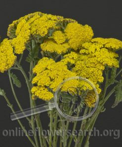Yarrow Cottage Yellow