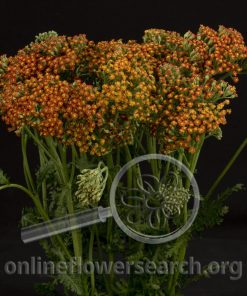 Yarrow Cottage Orange